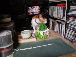 ガーデニングはじめました(猫草) - 刈り入れ_2