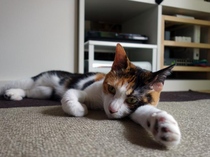 猫も熱中症になります